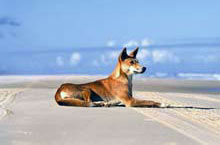 Wild Dingo on Fraser Island, Queensland